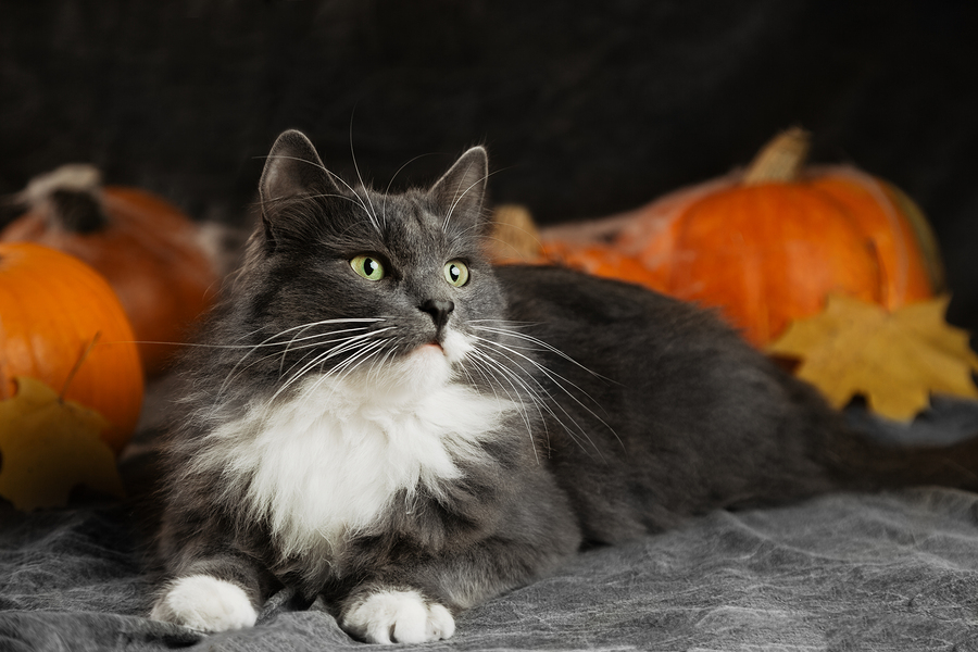 Cat and pumpkins and fall leaves